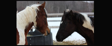 paint-horses-facing-each-other-in-winter