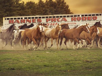 horses-running-in-front-of-horse-trailer