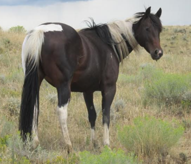 ebony-mare-with-white-coloring-on-maine-and-tail-medford-wi