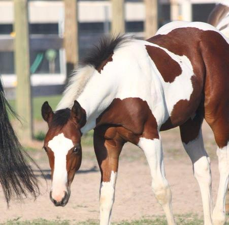 flint-apha-young stallion