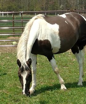beautiful-apha-grullo-tobiano-mare-eating-grass