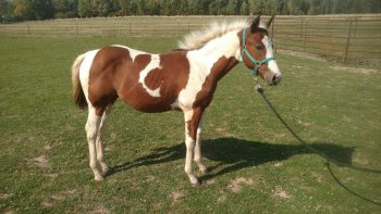 tuscan-apha-filly-sold-horse